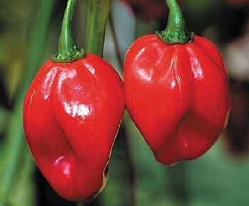 Fresh Scotch Bonnet Pods 100 Pounds