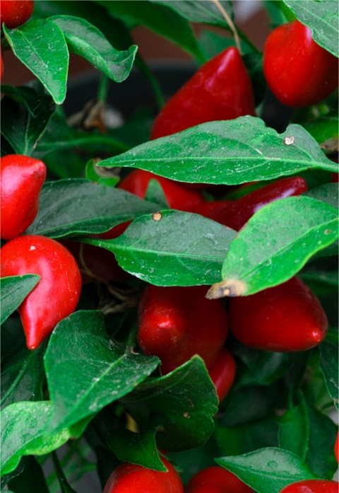 Pequin Pepper Plant